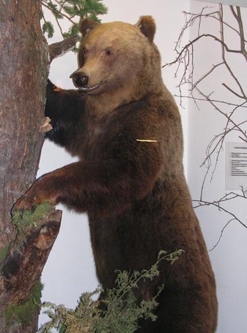 Кострома. Музей природы .Чучело медведя